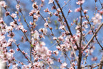 Load image into Gallery viewer, Prunus - Nanking Cherry