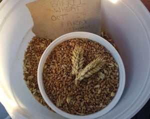 Wheat (Species) - Barrel