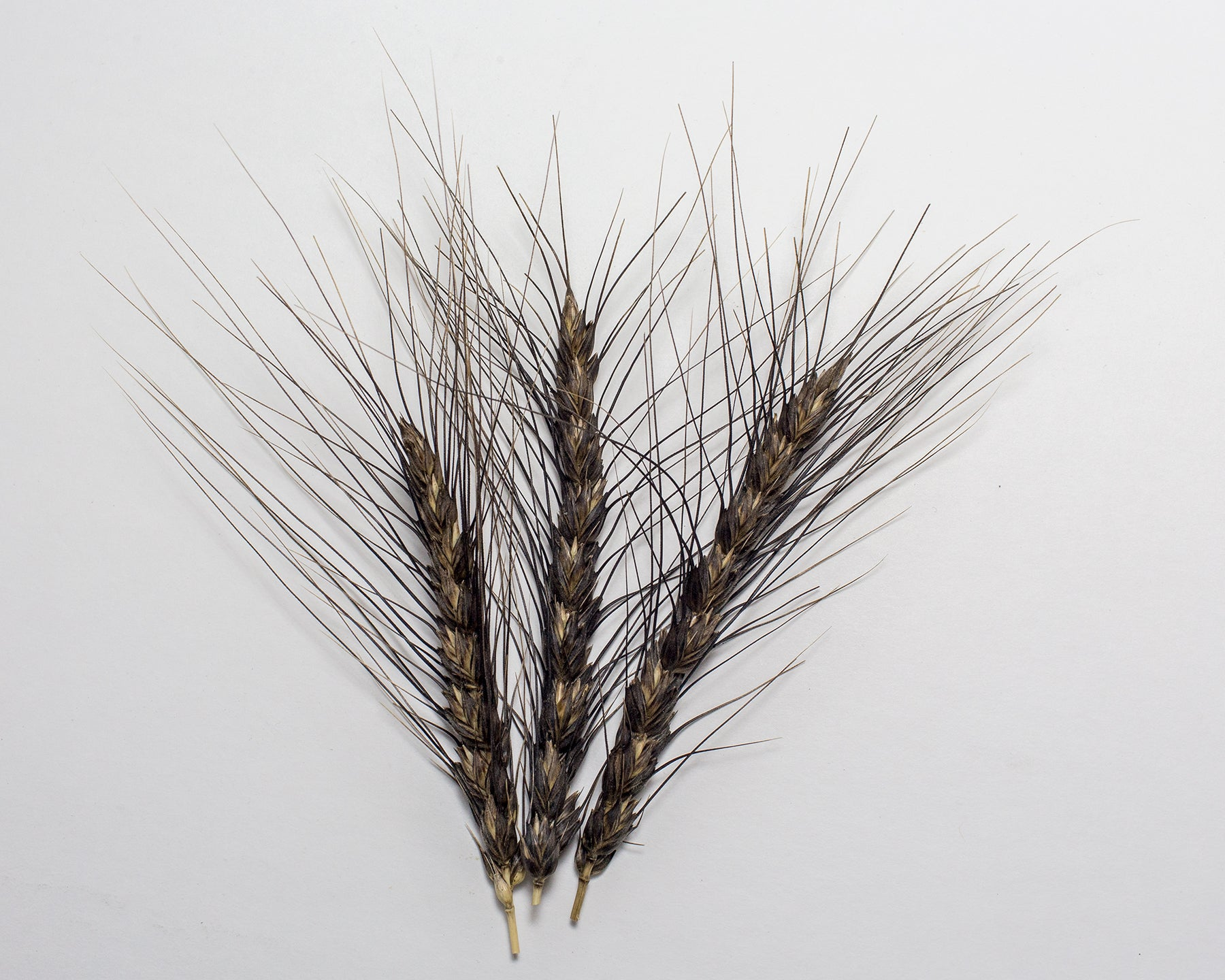 Wheat (Bread) - Black Decorative