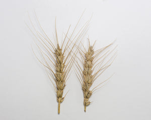 Wheat (Bread) - Ceres