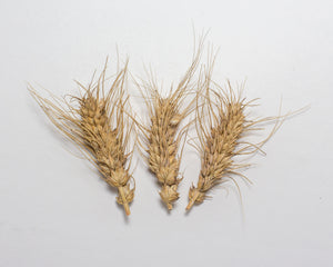 Wheat (Species) - Club