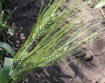 Load image into Gallery viewer, Wheat (Durum) - Moroccan Frost