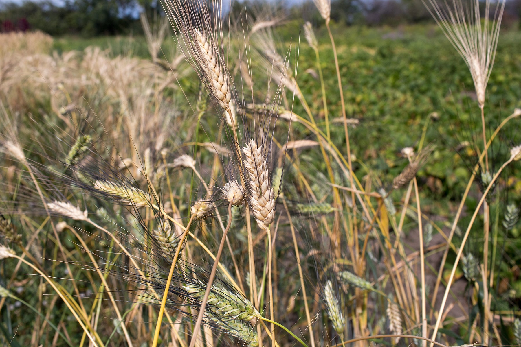 Wheat (Durum) - Senatore Cipolini