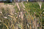 Load image into Gallery viewer, Wheat (Durum) - Senatore Cipolini