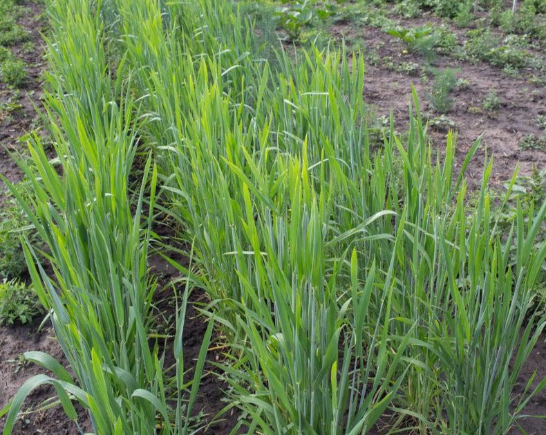 Wheat (Species) - T. Ovatum
