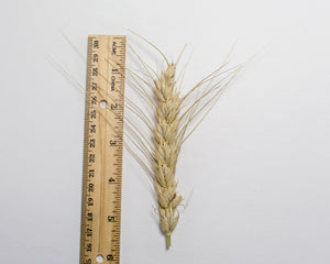 Wheat Cross - Tritinaldia