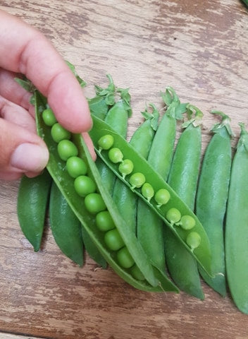 Shelling Pea (Bush) - Knight