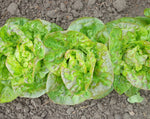 Load image into Gallery viewer, Lettuce (Butterhead) - Mescher