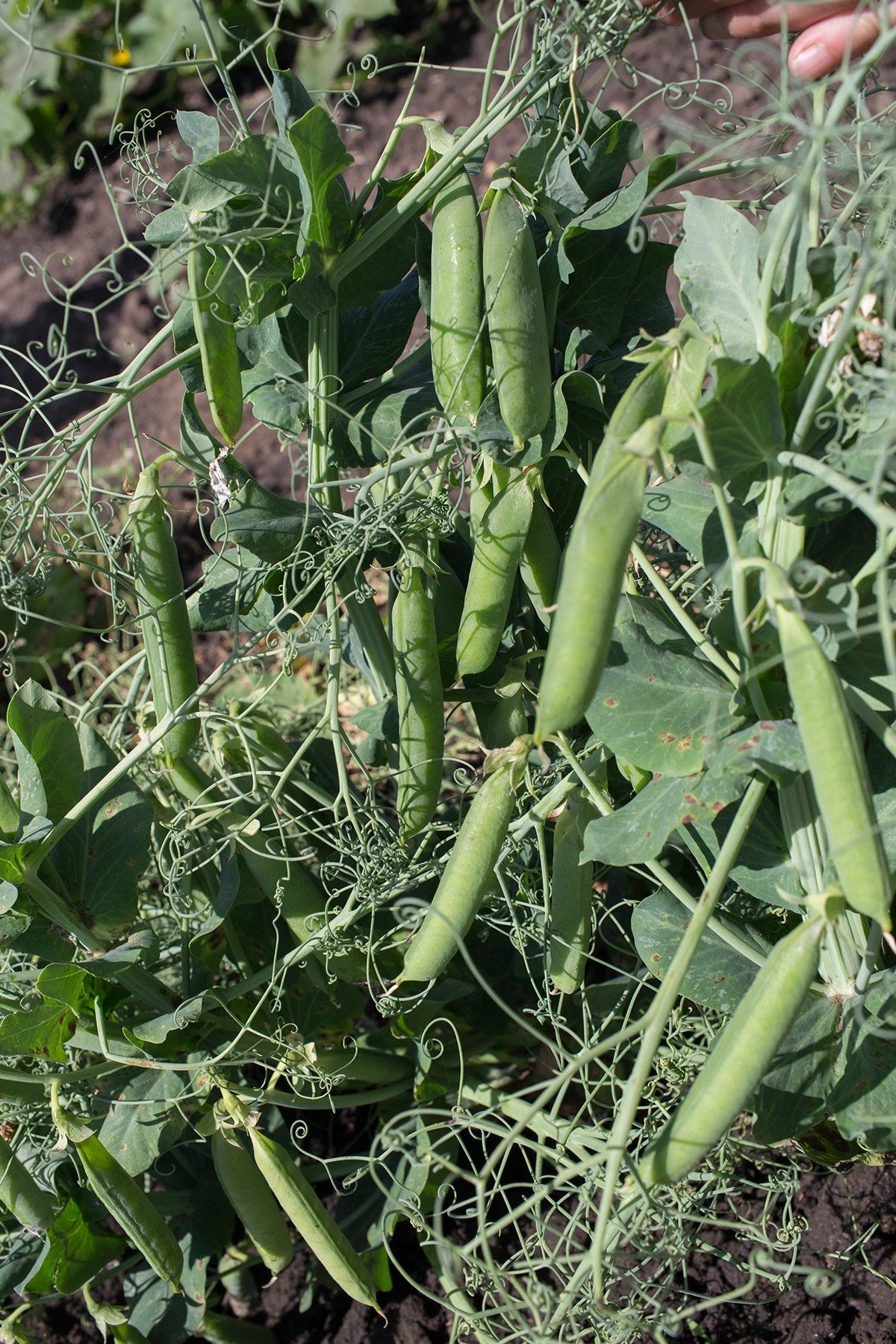 Shelling Pea (Bush) - Novella