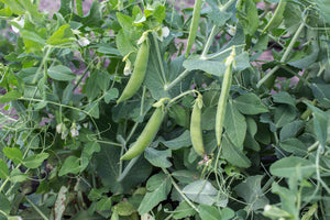Snap Pea (Bush) - Sugar Daddy