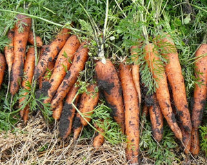 Carrot - Chantenay
