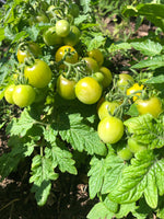 Load image into Gallery viewer, Little Yellow Pot Tomato