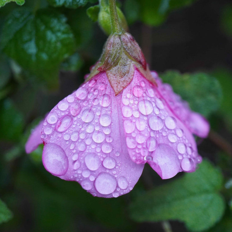 Raindrops on Flower Print