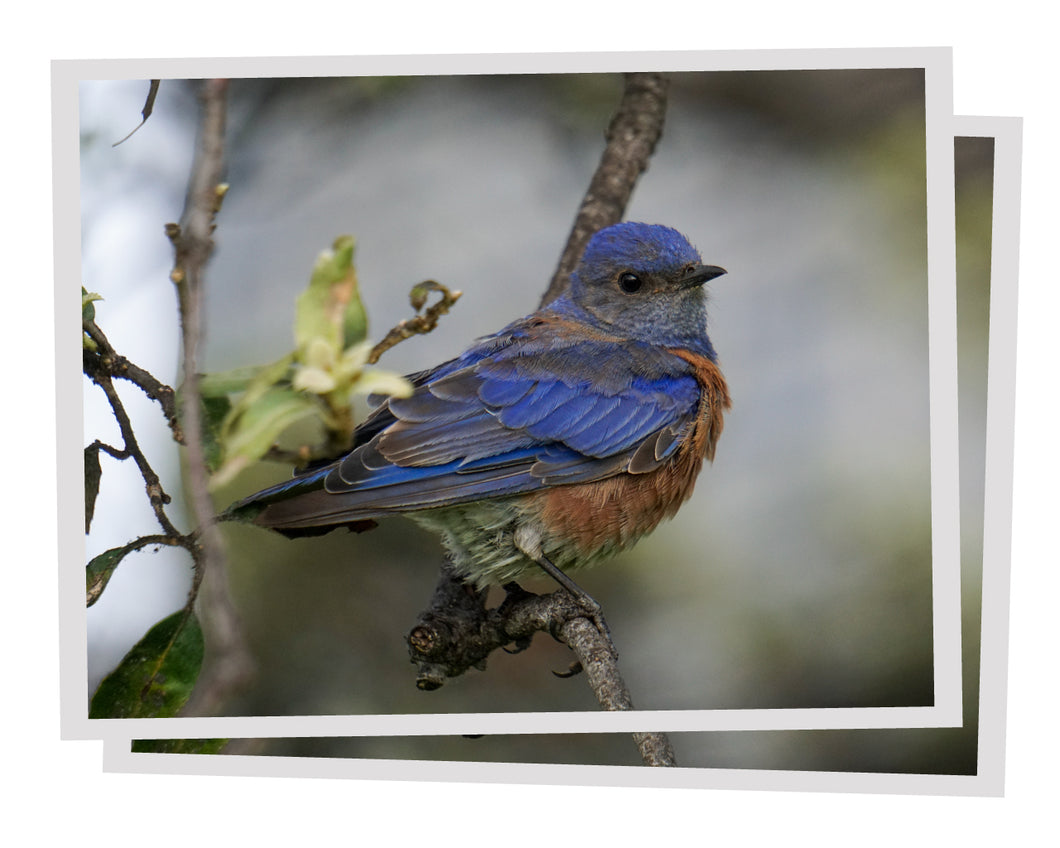 Western Bluebird: Plantable Seeded Note Cards