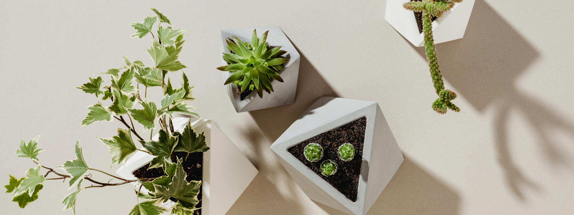 overhead of four succulents in four white pots