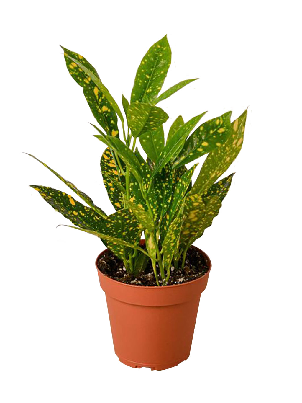 "Croton Gold Dust 4"" Pot"