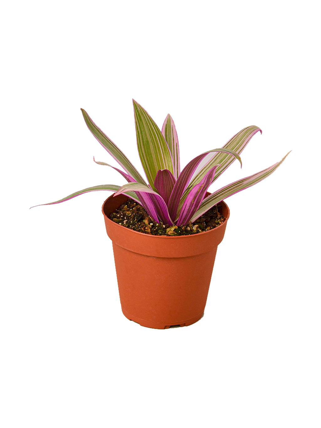 Oyster Plant Pot