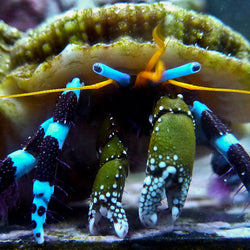 Metalic blue leg hermit crab