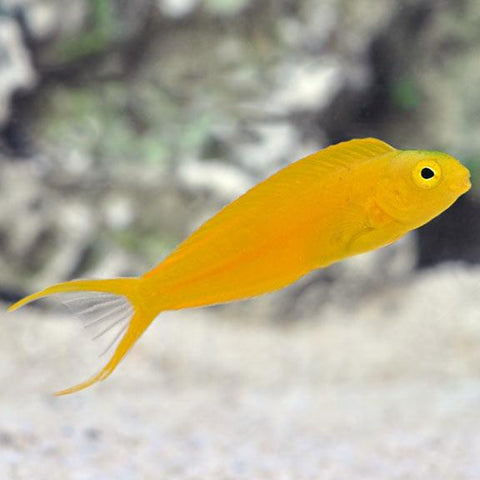 Yellow Canary Blenny