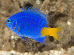 Yellowtail Damselfish