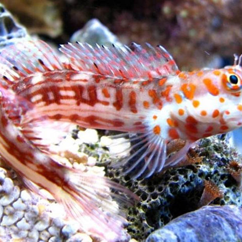 Spotted Orange Blenny