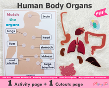 Load image into Gallery viewer, Body Organs | Human Anatomy