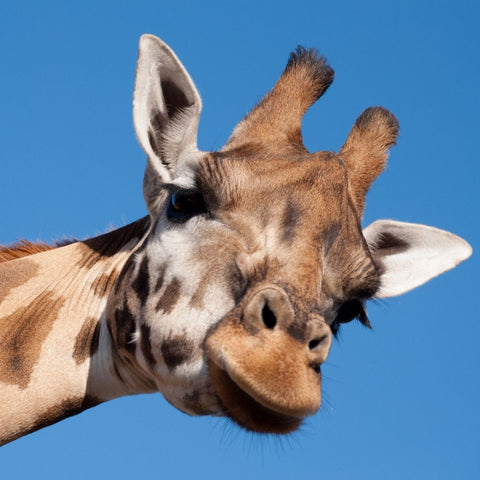 Image of a giraffe with ossicones on its head Cardboard Jungle