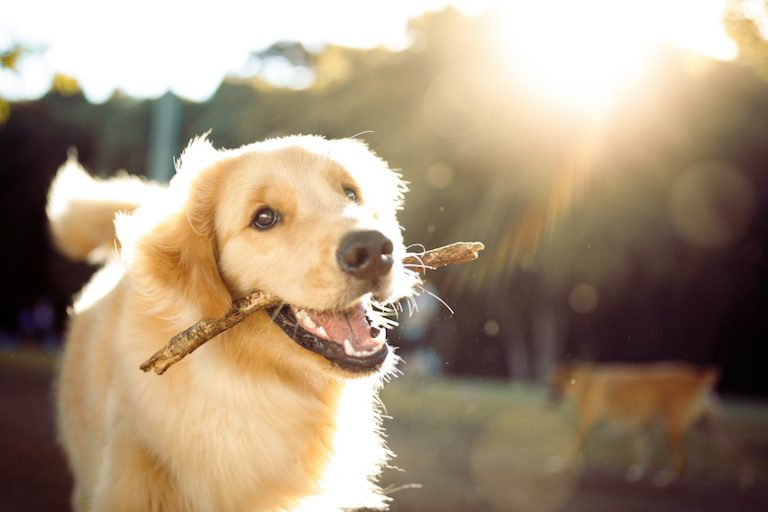 Why Do Dogs Eat Sticks?