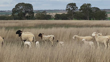 Load and play video in Gallery viewer, Long Paddock Lamb Thick Greek Sausages