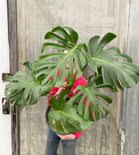 Load image into Gallery viewer, Monstera deliciosa - *Local Delivery or Pick Up Only*
