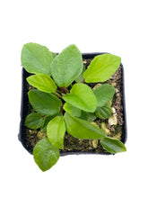 Load image into Gallery viewer, Peperomia fraseri - 2inch