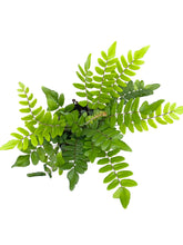 Load image into Gallery viewer, Pellaea falcata 'Sickle Fern'
