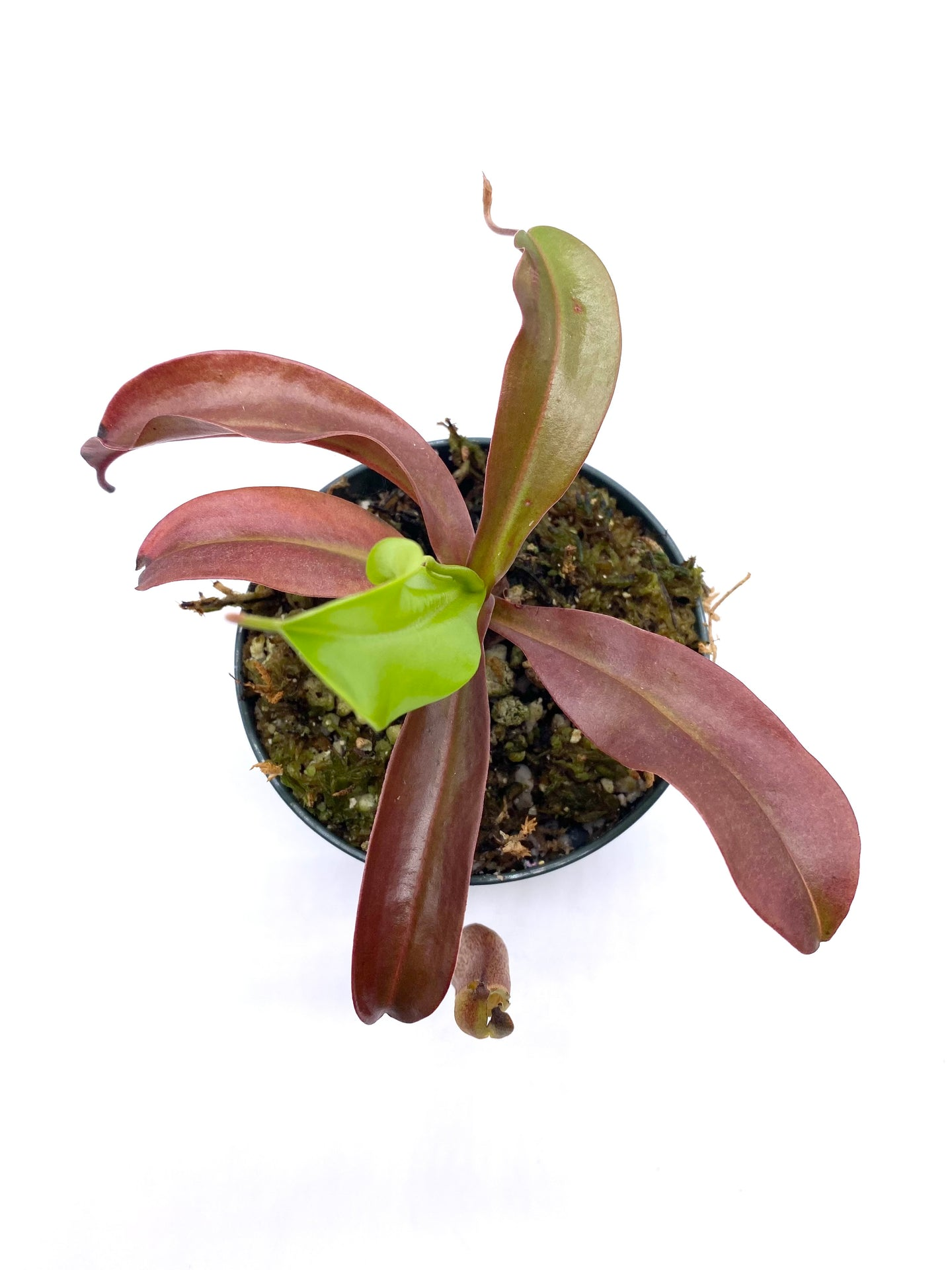 Nepenthes sibuyanensis x ventricosa 'Red'