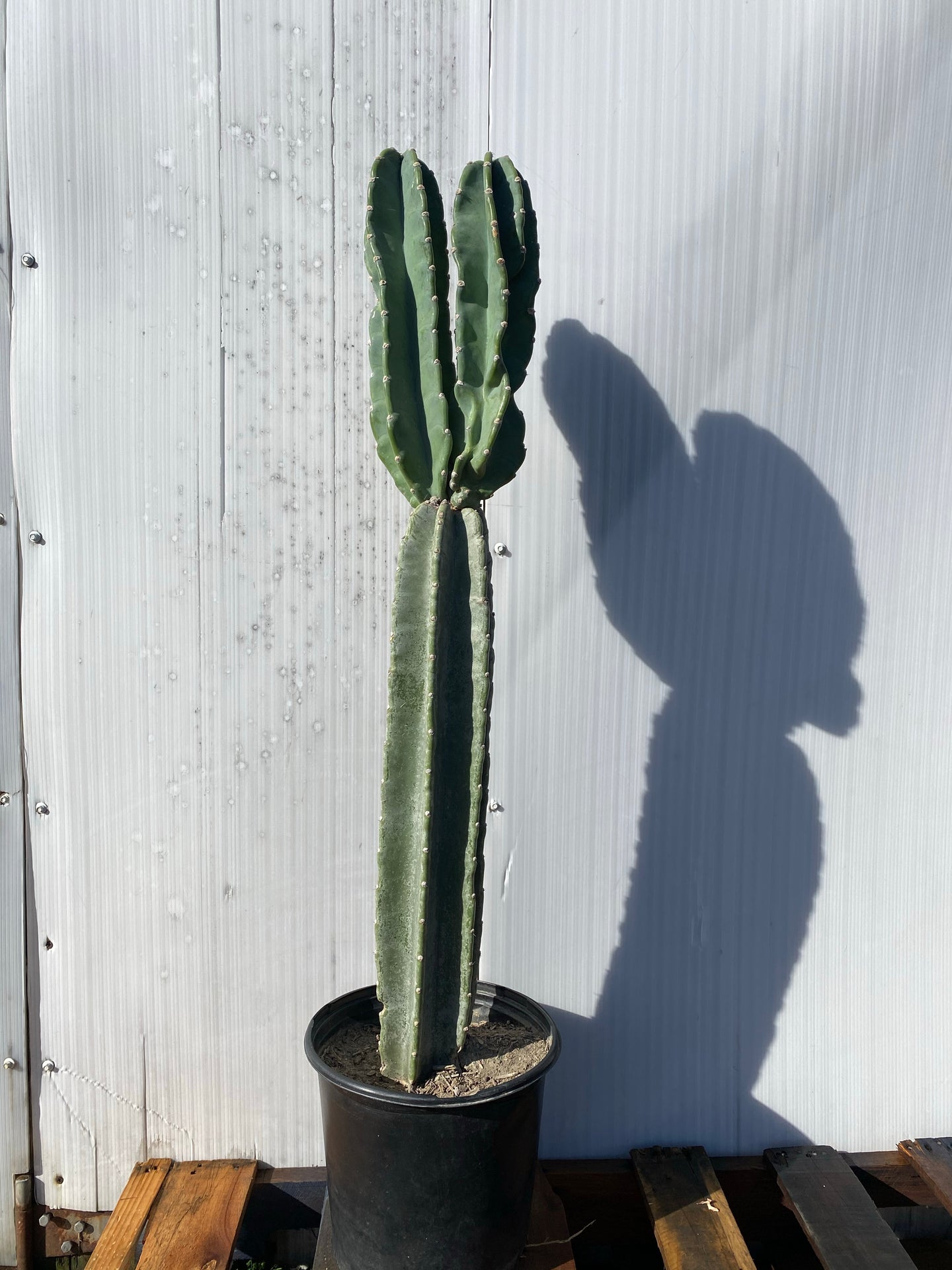 Cereus peruvians - *Local Delivery or Pick Up Only*