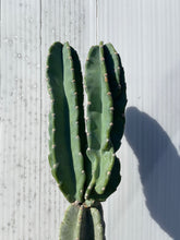 Load image into Gallery viewer, Cereus peruvians - *Local Delivery or Pick Up Only*