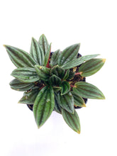 Load image into Gallery viewer, Peperomia 'Rosso' - 2 inch