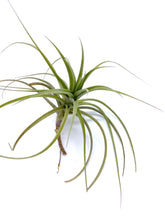 Load image into Gallery viewer, Tillandsia bergeri - Medium