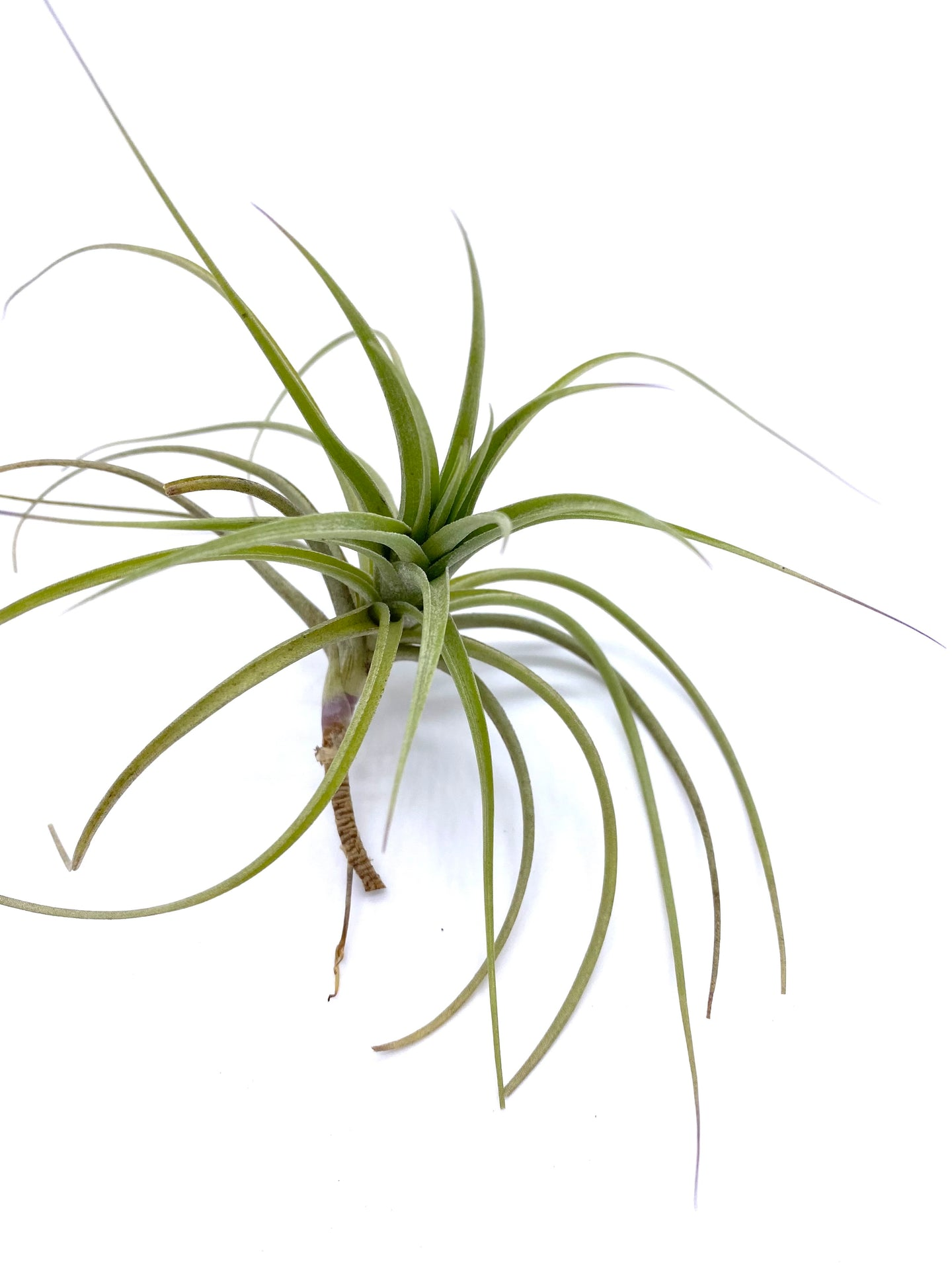 Tillandsia bergeri - Medium
