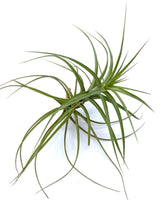 Load image into Gallery viewer, Tillandsia aeranthos - Large