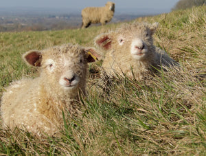 lincoln longwool lambs lincolnshire sheep on the wolds near walesby and tealby