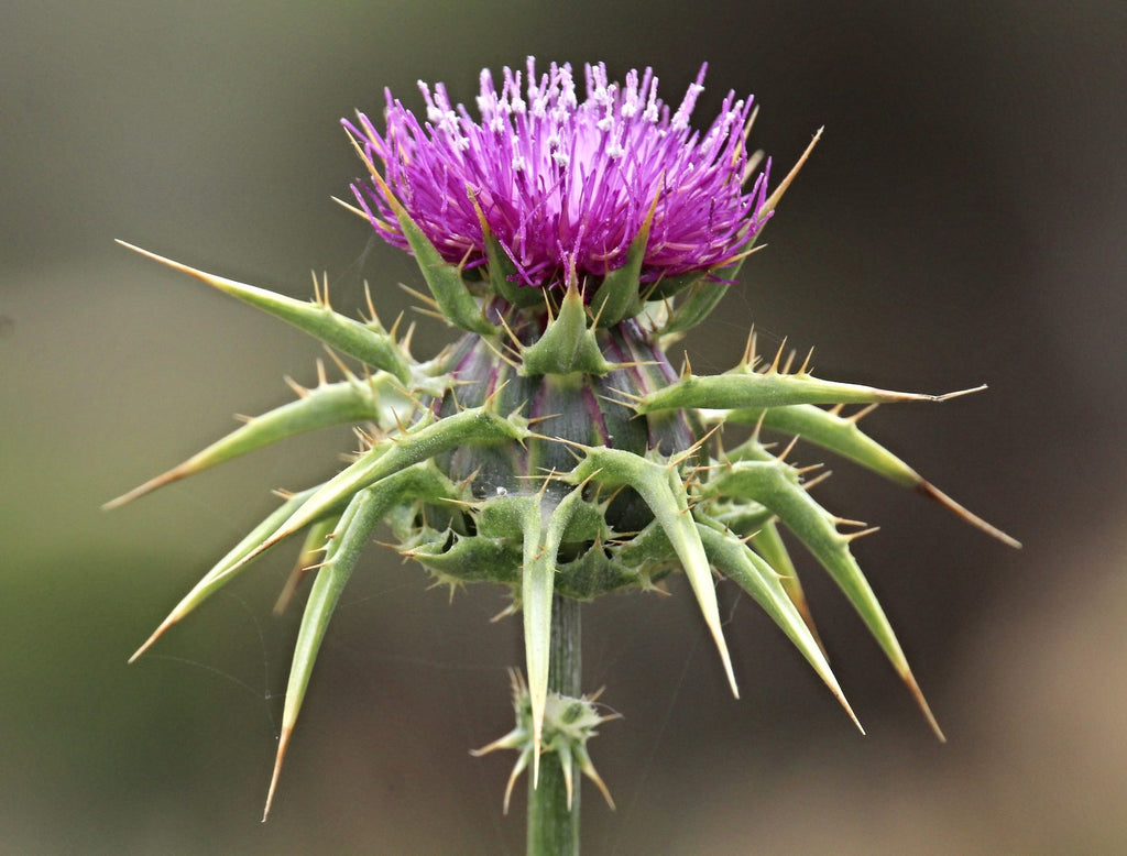 Milk Thistle Seed & The New Year Detox