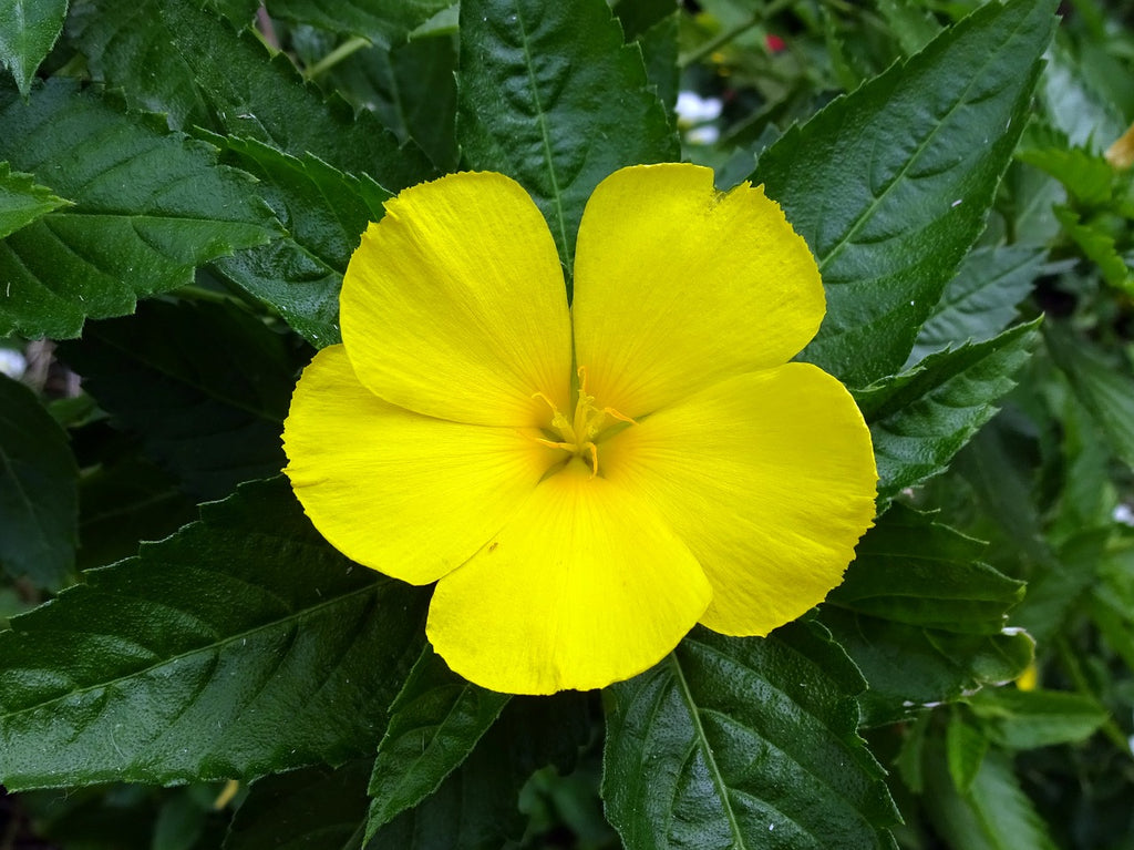 Herb of the Month: Damiana