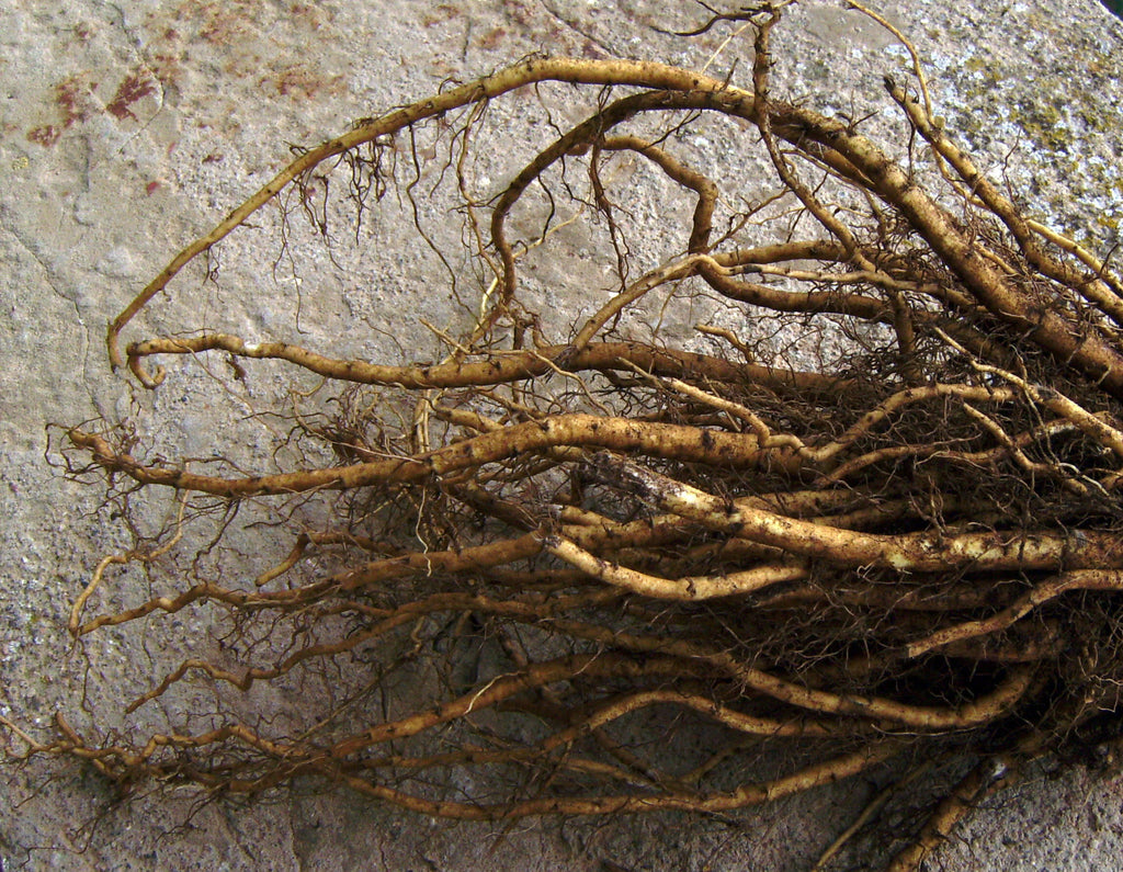 Herb of the Month: Marshmallow Root