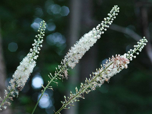 Cimicifuga racemosa- Black Cohosh Root Tincture