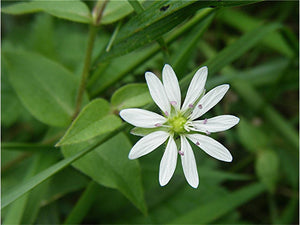 Stellaria Media- Chickweed Tincture