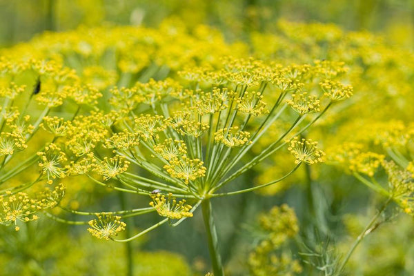 Foeniculum vulgare- Fennel Seed Tincture