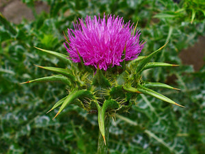 Silybum marianum- Milk Thistle Tincture