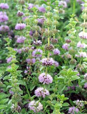 Mentha pulgeium- Pennyroyal Tincture