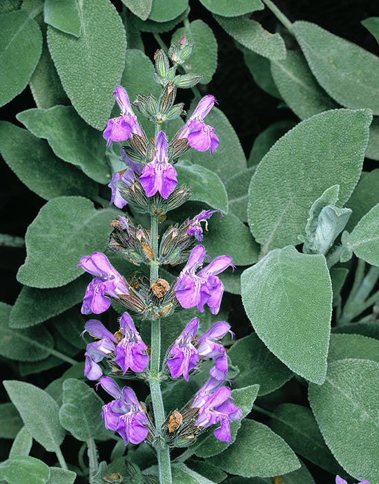 Salvia officinalis- Sage Leaf Tincture