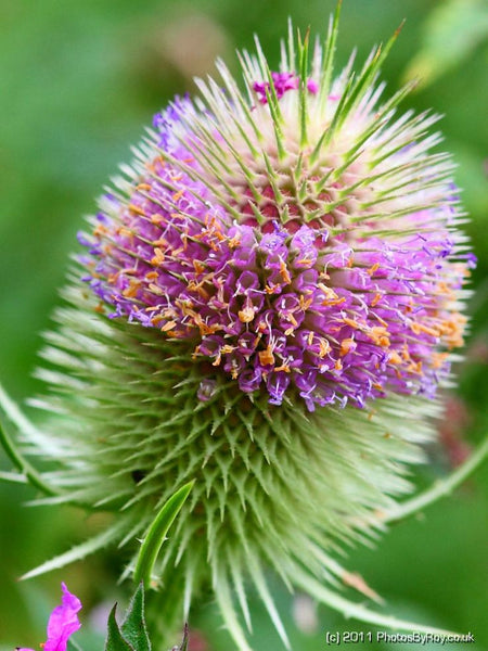 Dipsacus spp.- Teasel Root Tincture